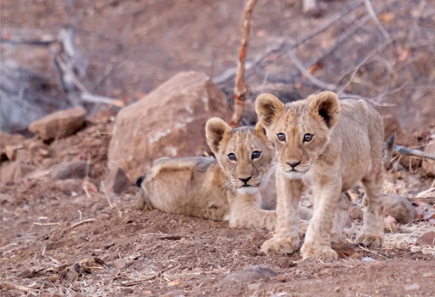 matetsi-staging-image-lioncubs